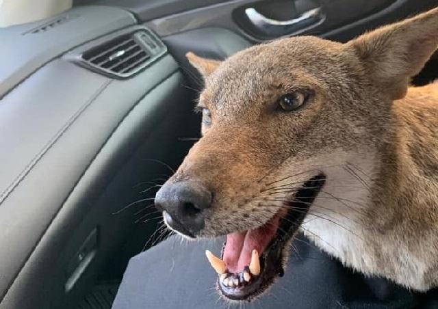 Murió el coyote que confundieron con un perro