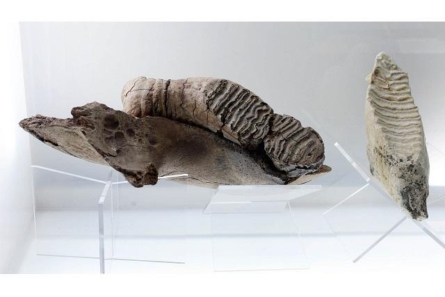 Museo en Puebla exhibe restos fósiles de 100 millones de años