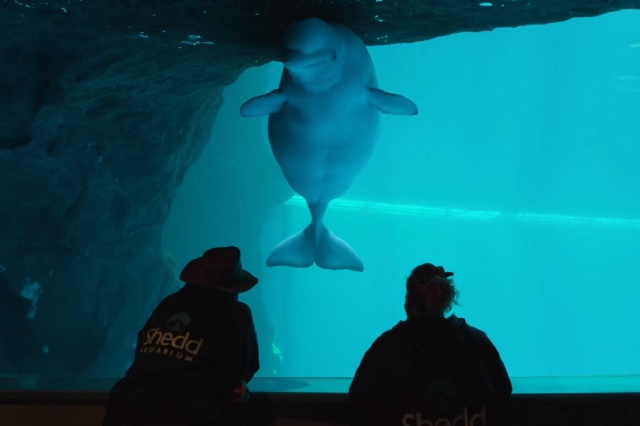 Graban nacimiento de una beluga en acuario de Chicago