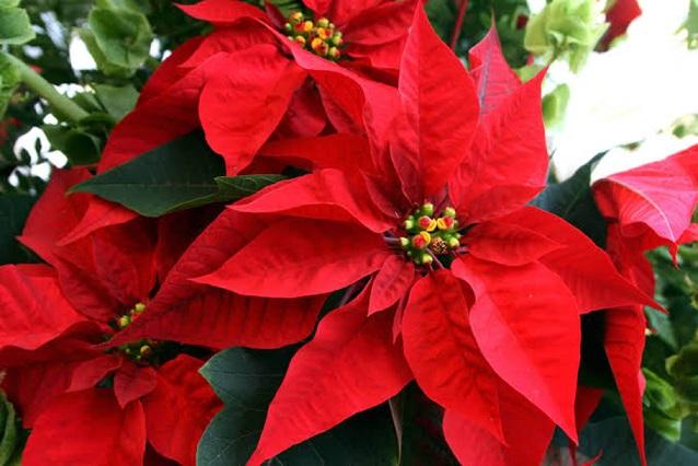 La Flor de Nochebuena, símbolo de las festividades decembrinas