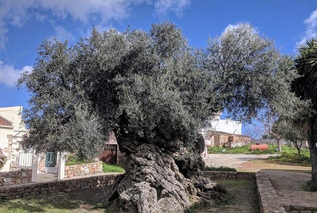 La resistencia de los olivos