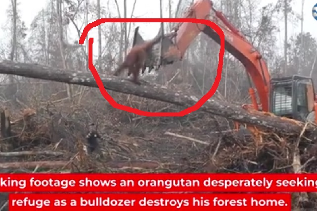 Impactante video: orangután ataca excavadora que destruye su bosque