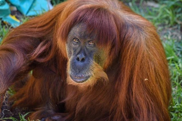 """Murió """"Puan"""" la orangutana más vieja del mundo"""