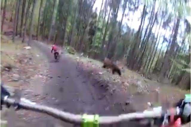 Tremendo susto: Oso se aparece a ciclistas y los atemoriza