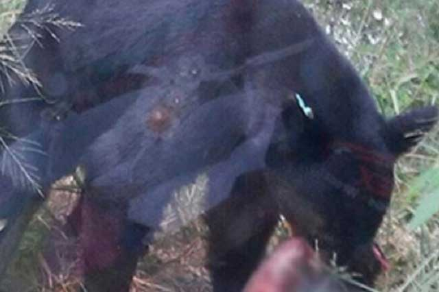 Oso devora a la mascota de una familia en el jardín de su casa