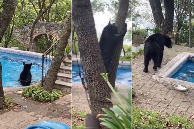 Continúa la 'invasión' de osos negros en calles de Nuevo León