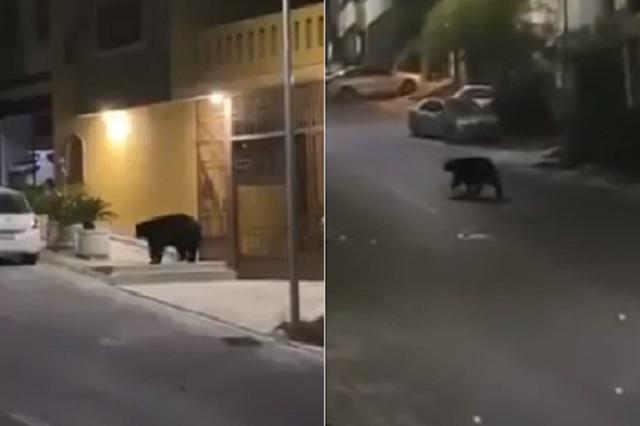 Ante ausencia de personas, oso negro pasea por calles de Monterrey