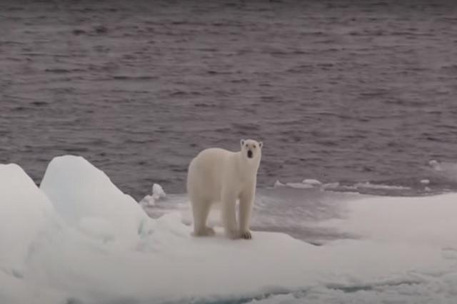 Osos polares podrían extinguirse antes del 2100