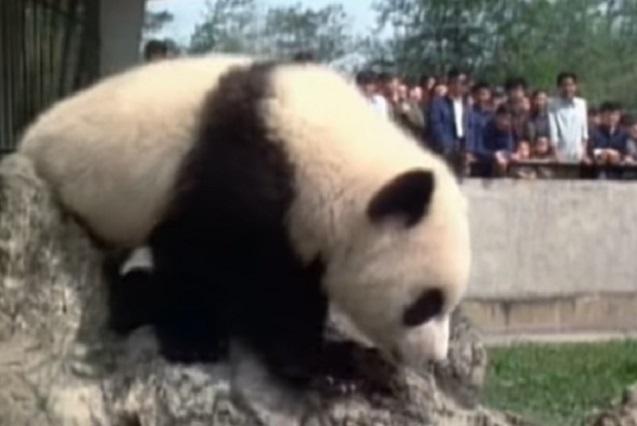 Una sensación el oso panda albino que apareció en China