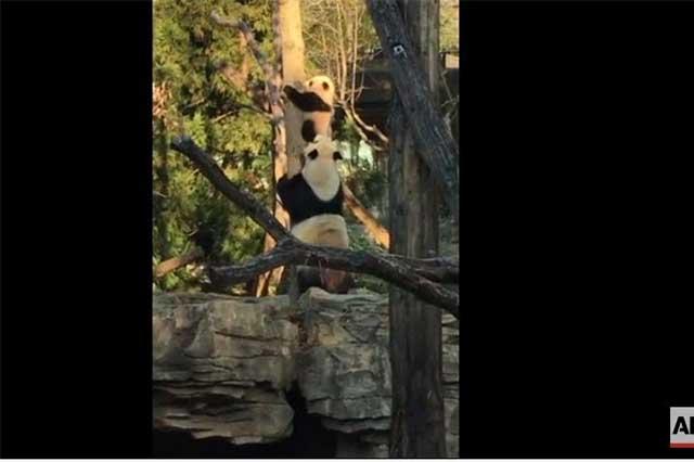 Bebé panda se vuelve un fenómeno viral en Facebook