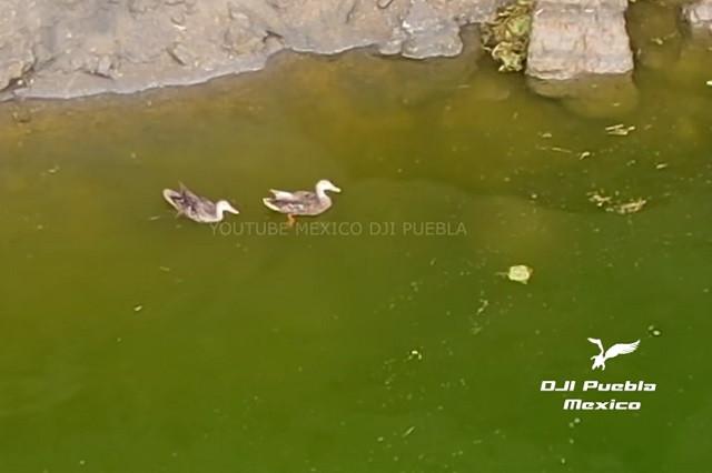 Video: Captan ahora patos en el interior del socavón de Puebla