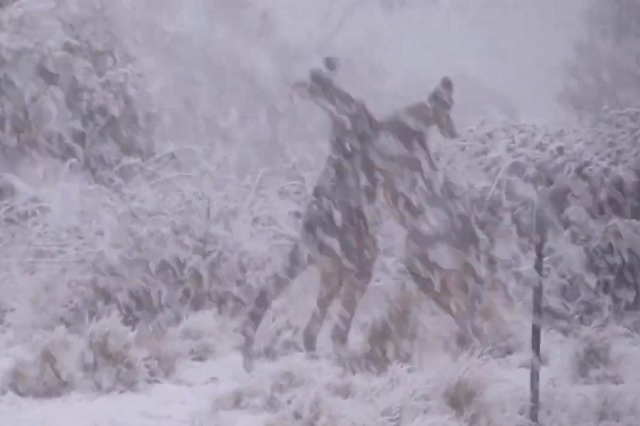Intensa pelea de canguros bajo la nieve se vuelve viral