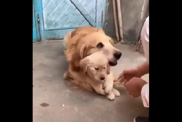 Video en Facebook de perra protegiendo a su cachorro se viraliza