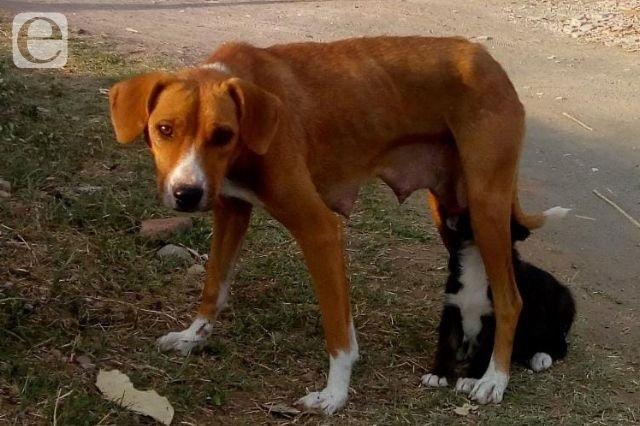 Aumenta la población de perros callejeros en Cholula