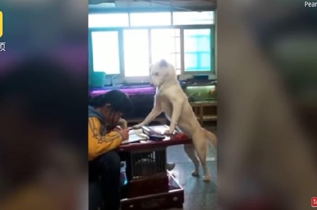 Video: Perro vigila a niña que haga su tarea y no use el celular