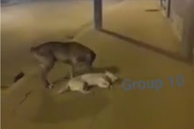 Video: se viraliza perrito que intenta reanimar a su amigo atropellado