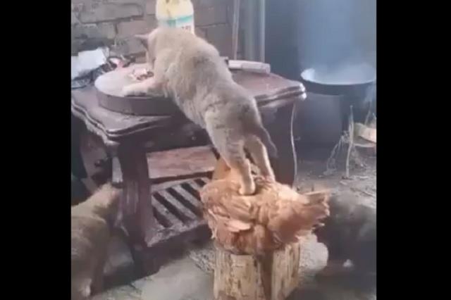 Captan peculiar alianza entre perro y gallo para robar comida