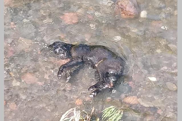 Vinculan a perrera de Atlixco con aparición de canes muertos en un río