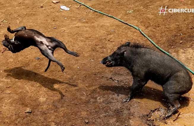 Perros contra jabalís: las despiadadas peleas a muerte por dinero
