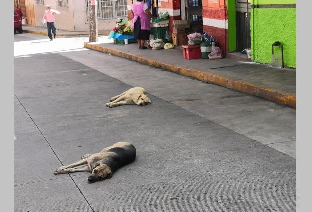 Denuncian aumento de perros callejeros en calles de Teziutlán