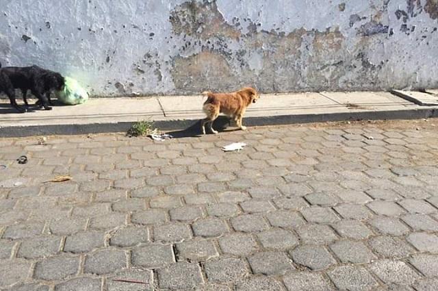 Reactivan perrera de Atlixco por exceso de perros callejeros