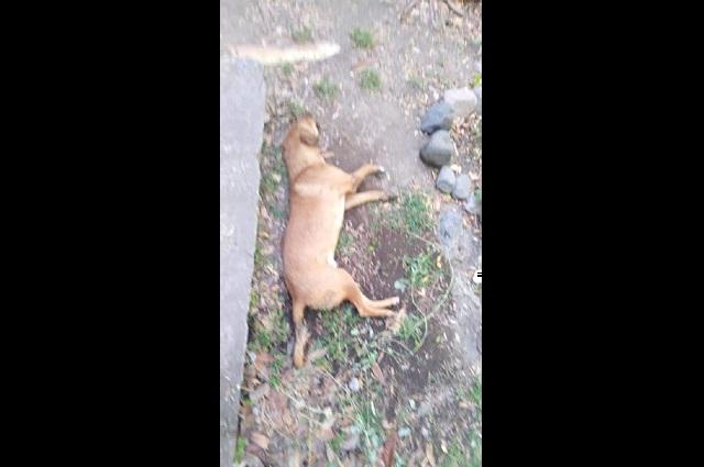Alarma a vecinos envenenamiento de perros en Atlixco