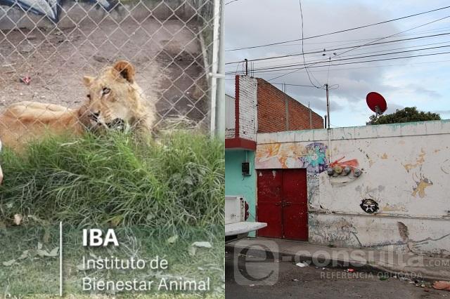 Hallan un león en casa del feminicida de Laura Patricia en Puebla