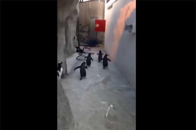 Fallido escape de pingüinos en Dinamarca se viraliza