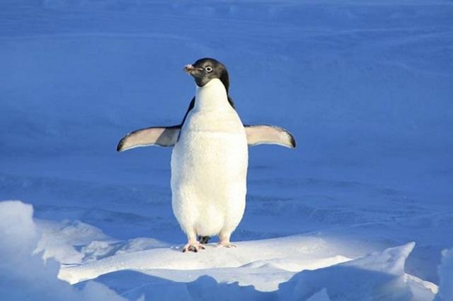 Los pingüinos vivieron en la era de los dinosaurios