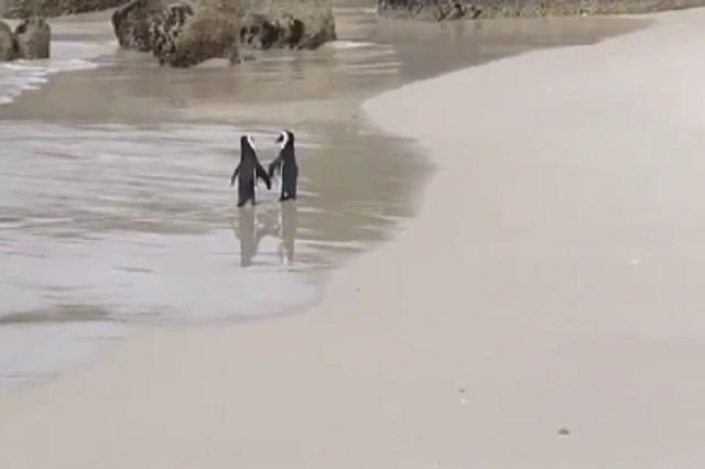 Pingüinos tomados de la mano, el video viral que cautiva Twitter y la web
