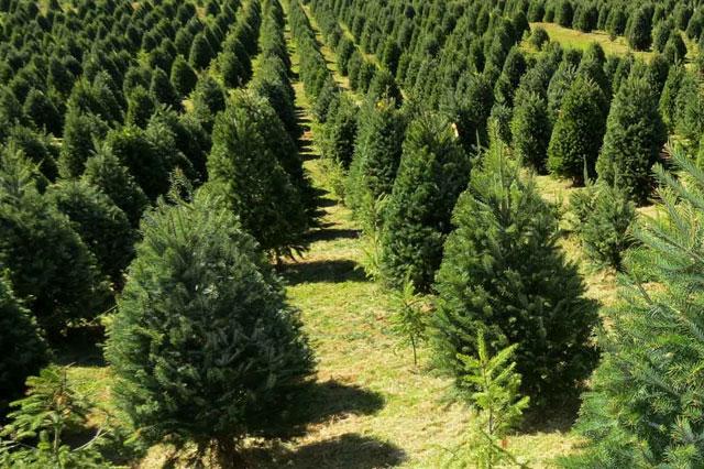 Esperan OOSL procesar 10 mil arbolitos de navidad