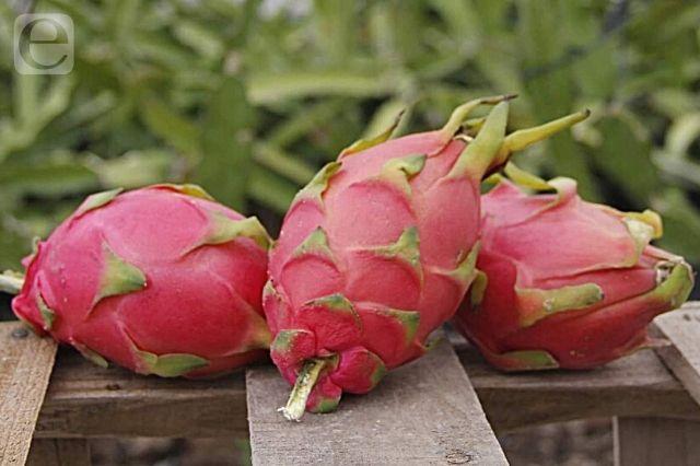 Tlacoxcalco exporta 4 toneladas de pitahaya a Reino Unido