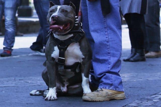 Denuncian ataques de dos perros pitbull en Atlixco