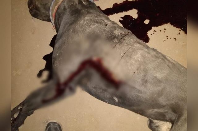 Asesino de pitbull en Tehuacán podría pasar 10 años en la cárcel