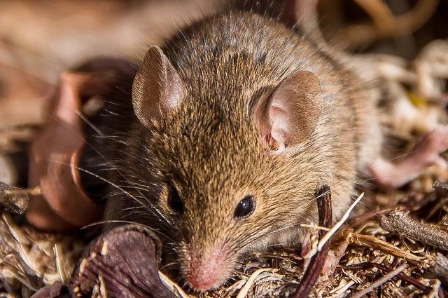 Plaga de ratones obliga a evacuar cárcel en Australia