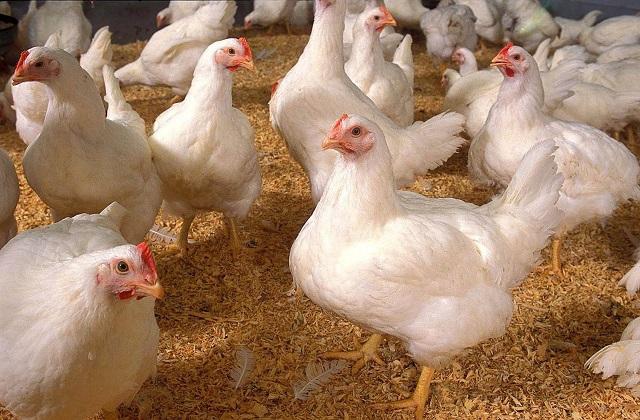 Es un mito el uso de hormonas para el crecimiento en pollos
