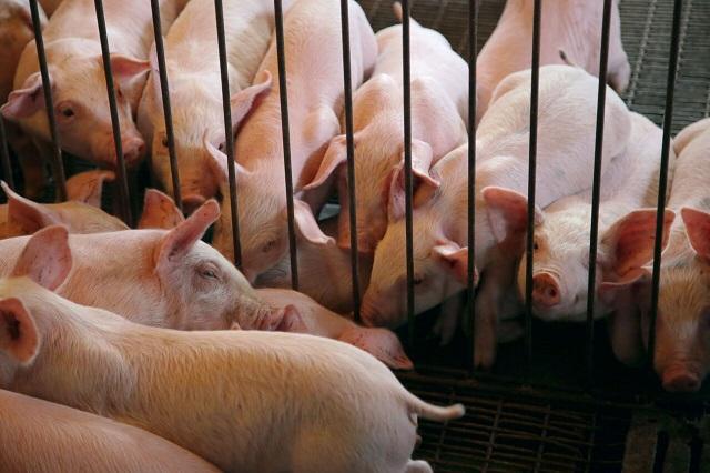 Coordinan esfuerzos contra ingreso de Peste Porcina Africana a México