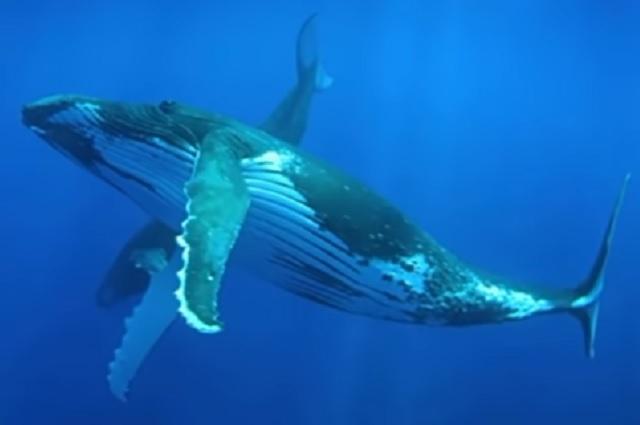 Así es como las ballenas combaten el cambio climático