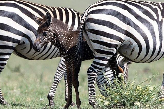 Sorprende en África nacimiento de una cebra poco común