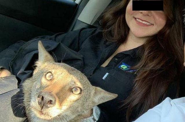 Pensó haber rescatado un perro; era un coyote salvaje
