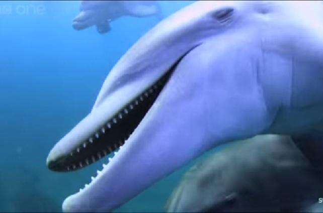 Video: delfines se drogan con veneno de pez globo