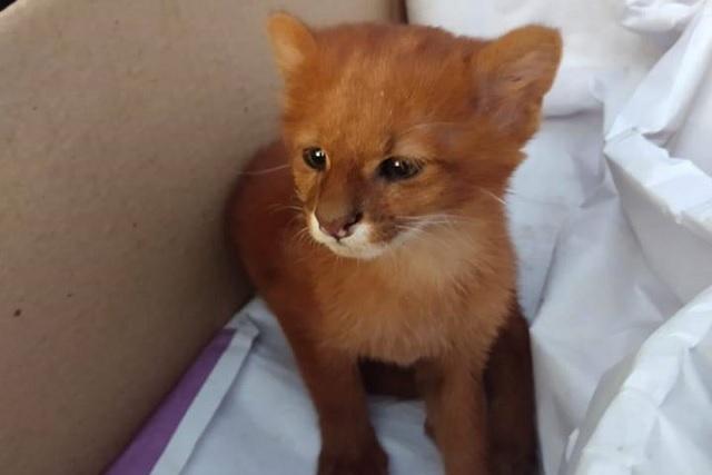 Mujer rescata a un pequeño gato en Argentina; resultó ser un puma bebé