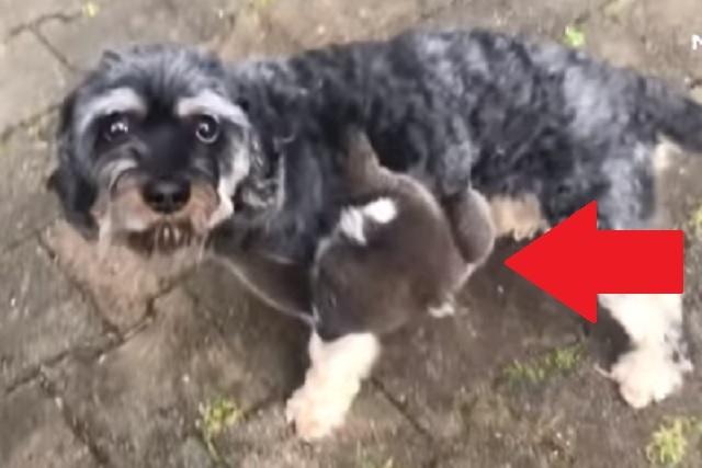 Video: Koala confundido cree que un perro es su madre