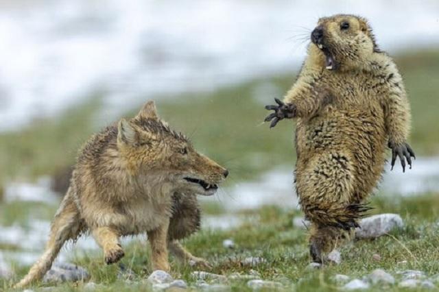 Marmota sorprendida por un zorro hambriento gana como mejor foto del año