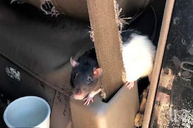 Mujer estadounidense vivía con 320 ratas en su camioneta
