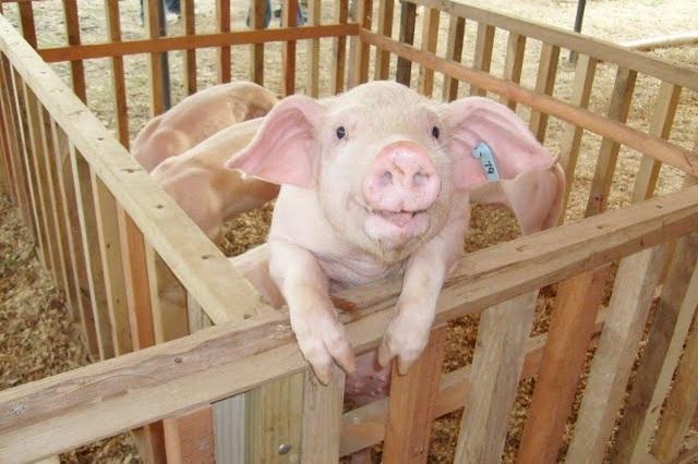 Órganos de cerdos podrían trasplantarse en humanos