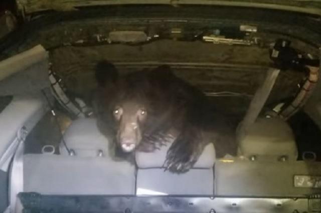 Abre la puerta de su auto y encuentra a un oso en la cajuela
