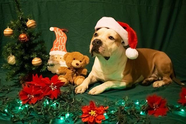 Advierten que la flor de Nochebuena puede ser dañina para los perros