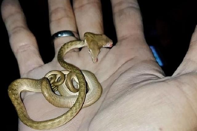 Hallan serpiente de dos cabezas en Indonesia