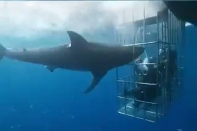 Video: Captan a tiburón blanco que murió atorado en una jaula de turistas